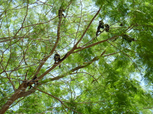 01 monkeys in Santa Rosa  NP
