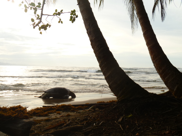 Huge sea turtle washed ashore @Manzanillo beach ~she died of old age