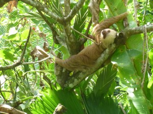 Sloth ~2toe