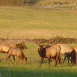 03 elk